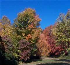 A tree in autumn; Size=240 pixels wide