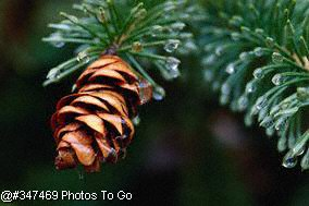 Spruce Cone with water droplets